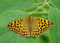 Silver-washed Fritillary Argynnis paphia