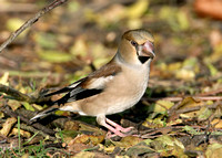 Hawfinch Coccothraustes coccothraustes