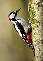 Great Spotted Woodpecker Dendrocopus major