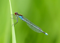 Red-eyed Damselfly Erythromma najas