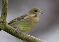Greenfinch Chloris chloris