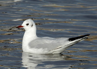 Black-headed Gull Chroicocephalus ridibundus