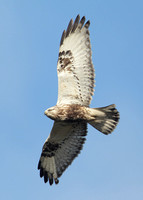 Rough-legged Buzzard Buteo lagopus