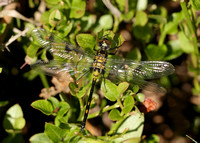 White-faced Darter Leucorrhinia dubia