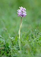 Monkey Orchid Orchis simia