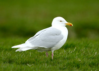 Iceland Gull Larus glaucoides