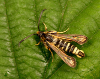 Six-belted Clearwing Bembecia ichneumoniformis