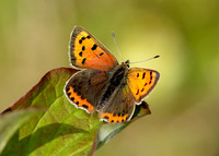 Small Copper Lycaena phlaeas